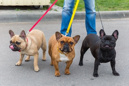 promeneur de chiens qui promène trois bouledogues