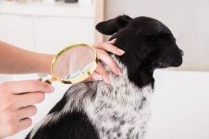 protubérance sur la peau d'un chien