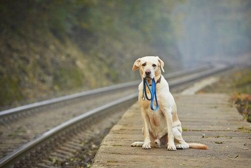 chien avec une laisse dans la gueule au bord d'un chemin de fer