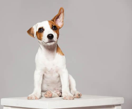 Que signifient les mouvements d'oreilles de votre chien ?
