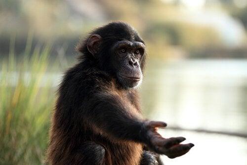 chimpanzé dans un sanctuaire de primates qui tend le bras