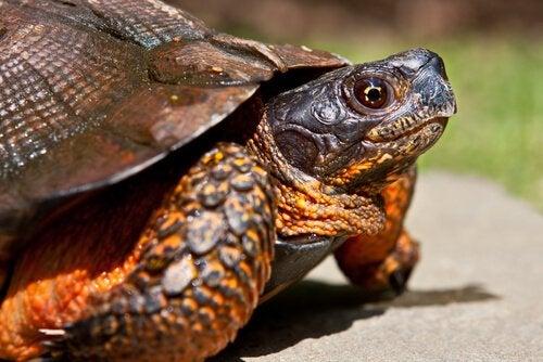 4 types de tortues domestiques