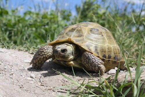 tortue russe qui se déplace sur un terrain herbeux