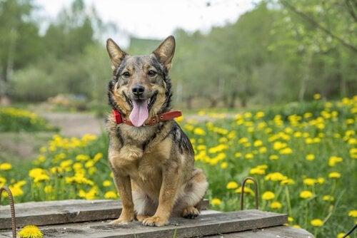 Le vallhund suédois, le chien des vikings