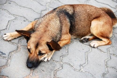 vomissements jaunes des chiens