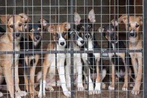 contrôle des naissances chez les chiens