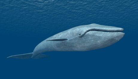 Le chant des baleines concernant la baleine bleue