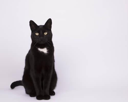 Les caractéristiques des chats métis