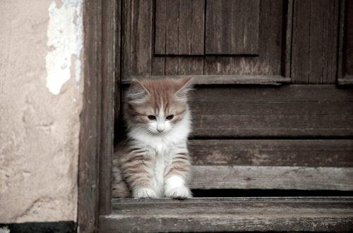 Le chat Cymric , un chat au poil long et sans queue