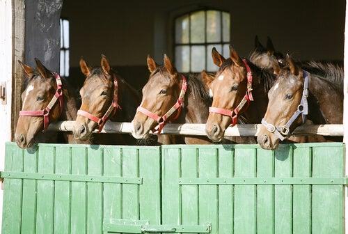 Faut-il laisser les chevaux à l'intérieur ou à l'extérieur des écuries ?