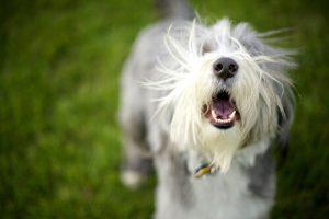 collier anti-aboiement pour les chiens qui aboient trop