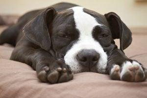 chien paresseux qui dort sur un lit
