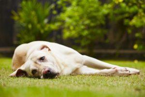 les chiens et les tumeurs contagieuses