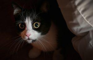 votre chat vous fixe