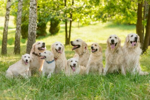 Conseils pour l'élevage du Golden Retriever