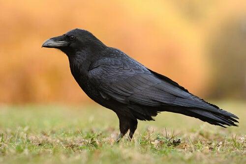 5 espèces de corbeaux