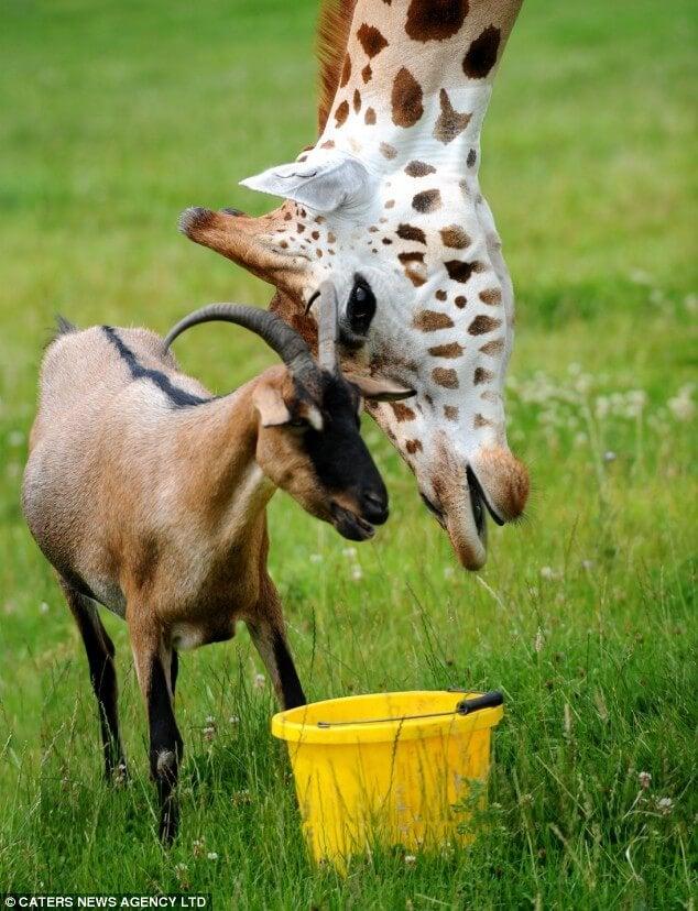 Les amitiés entre une chèvre et une girafe