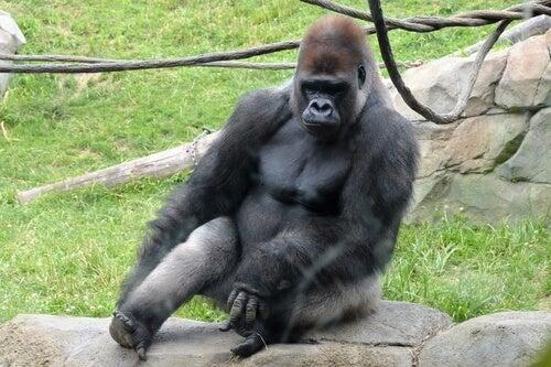 Gorille occidental : le plus grand primate au monde