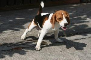 chien incontinent souffrant d'insuffisance rénale