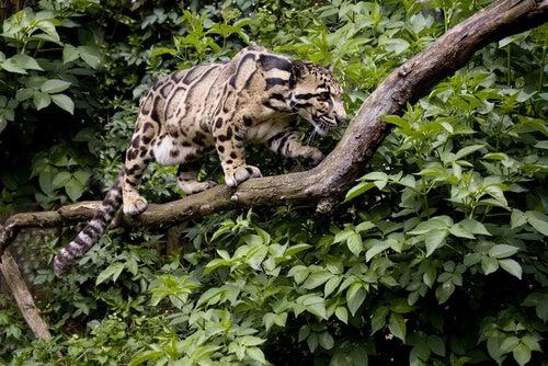 la panthère nébuleuse fait partie des animaux arboricoles