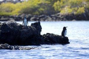 pingouins des îles Galapagos