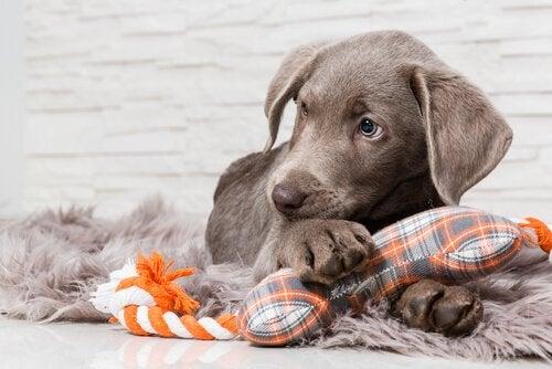 La protection des ressources chez le chien