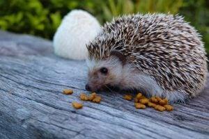 faits curieux sur le hérisson : son alimentation