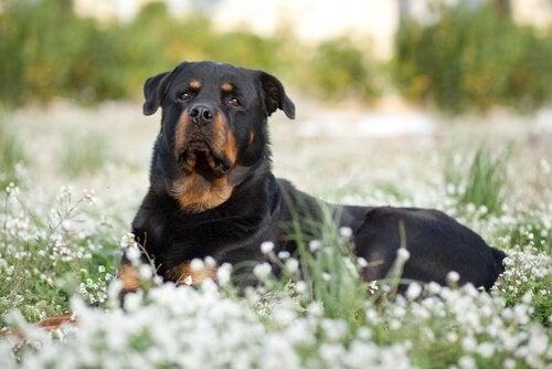 Des chiens de race dangereuse ou de mauvaise éducation ?