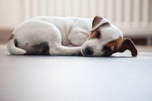 sédentarité : chien qui dort