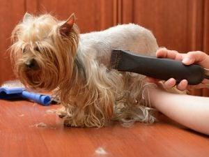 faire couper les poils de son chien par un toiletteur