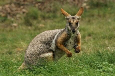 wallaby de personnages historiques