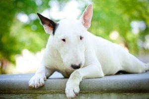 terriers : bull terrier