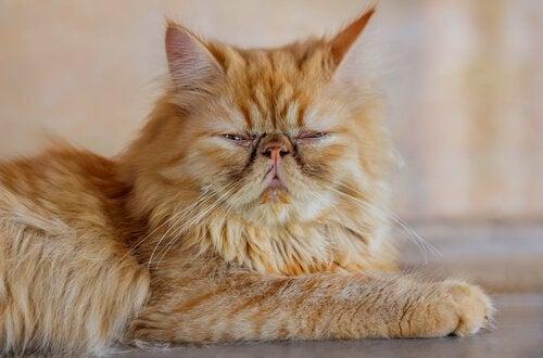 Les chats asiatiques : le persan.