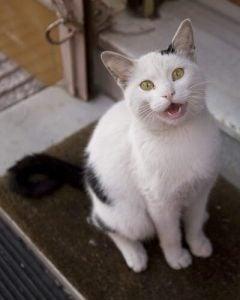 miaulement des chats