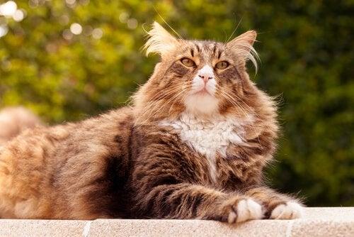 Les 5 races des plus grands chats