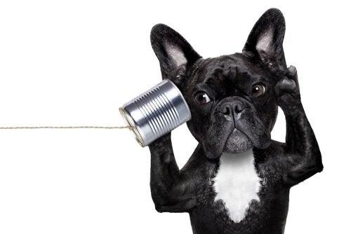 La surdité chez les chiens, comment la reconnaître ?