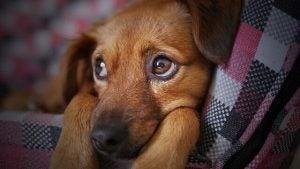 grippe chez les chiens