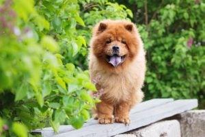 le chow chow fait partie des races de chiens qui souffrent de la chaleur