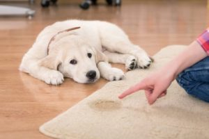 apprendre à un chien à faire ses besoins dans un bac à litière