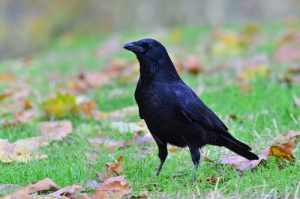 le corbeau comme animal de compagnie