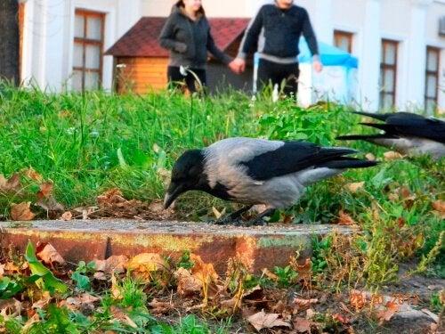 Un corbeau comme animal de compagnie : une folie ?