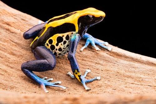 la grenouille toxique fait partie des prédateurs les plus meurtriers