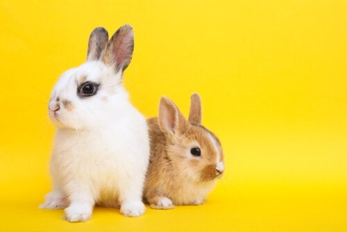 Caractéristiques et soins du lapin toy