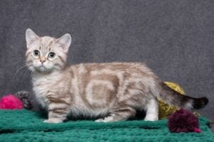 chats de petite taille : munchkin