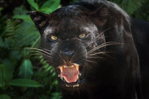 Curiosités sur la panthère noire