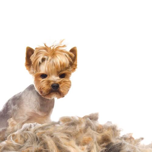 Perte de poils chez le chien : causes et traitement