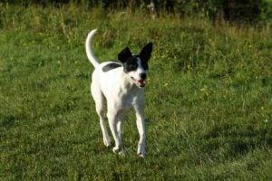 chiens rapides : rat terrier