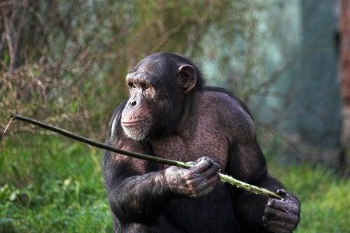 Les singes qui chassent avec une lance de Fongoli