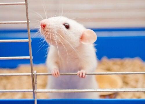 Les souris comme animaux de compagnie