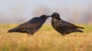 corbeau comme animal de compagnie